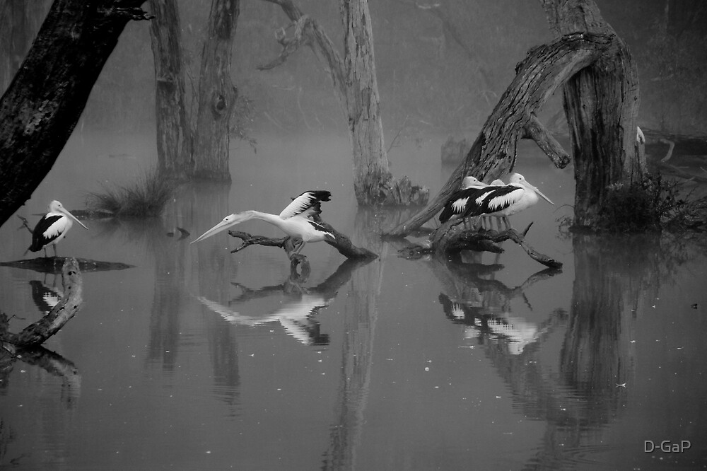 Pelicans Waking B&W by D-GaP