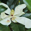 sweet Magnolia by ANNABEL   S. ALENTON