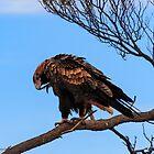 Preening Wedge Tail Eagle, Leonora WA by IsithombePhoto