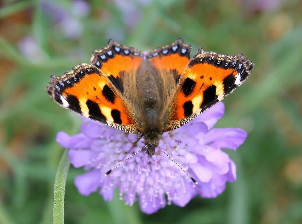 Butterfly on a blossom by Arne-Jan Paalzow