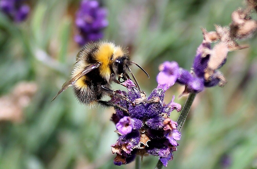 Bumblebee on Lavender by Arne-Jan Paalzow
