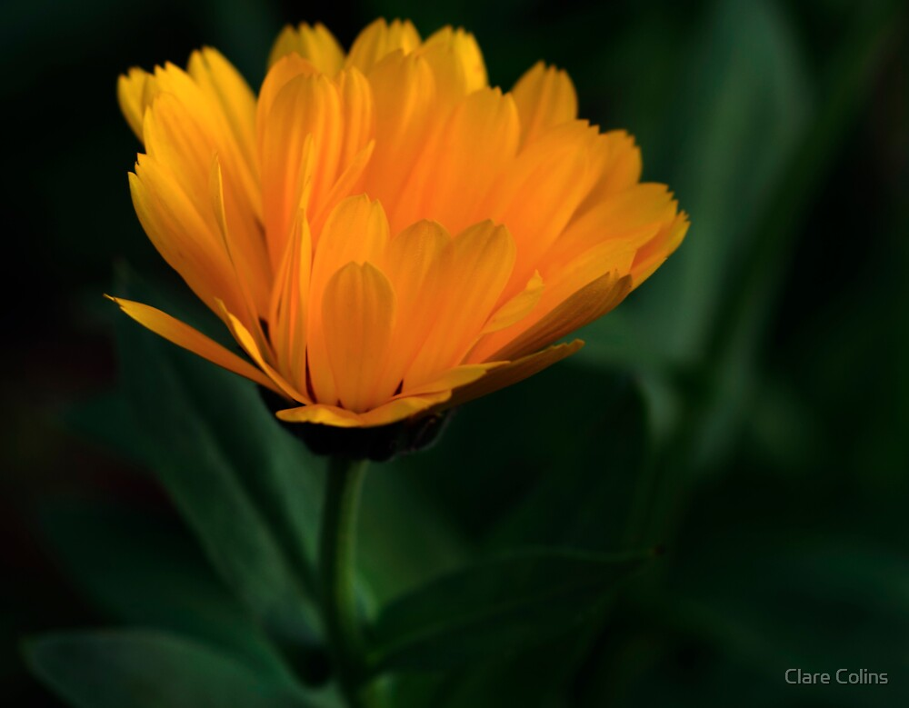 A Calendula Hiding in my Winter Garden by Clare Colins