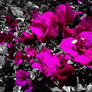 Hot pink bougainvilleas over monochrome background by cesarpadilla
