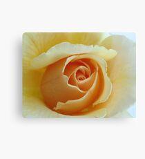 Peach Garden Rose Canvas Print