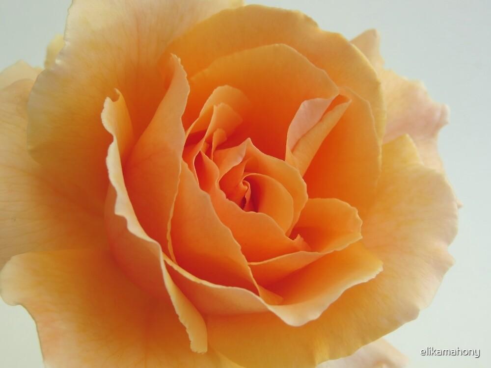 Peach Rose by elikamahony