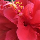 Beautiful Hibiscus  by Artbymilissa