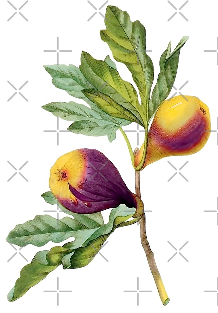 Vintage Botanical Print, Fig by Redoute by PixDezines