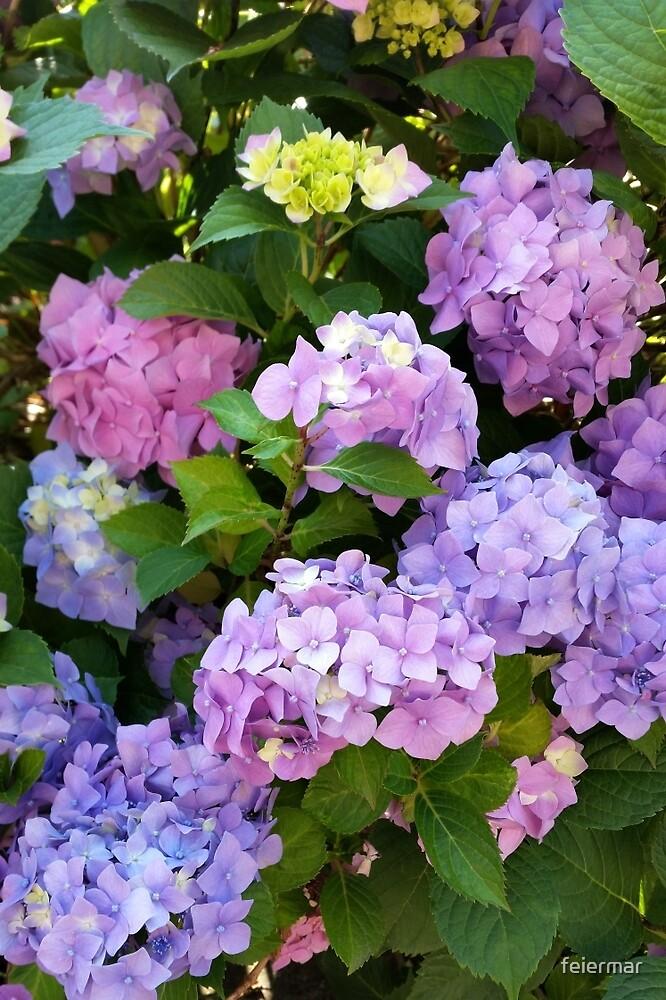 colorful hydrangea by feiermar