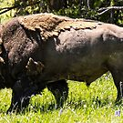 Yellowstone State Park Bison by beckam81