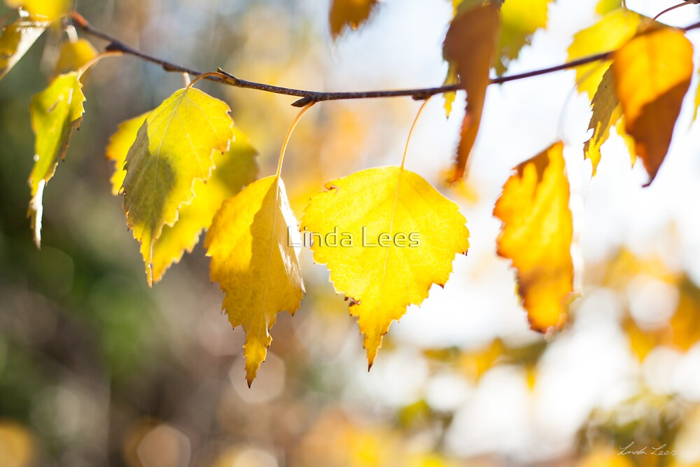 Sundrenched Gold by Linda Lees