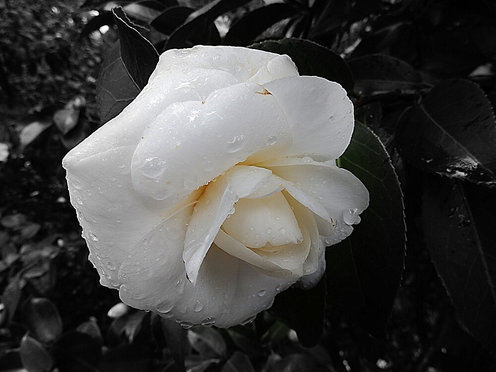 Winter White Camellia by HilaryFran