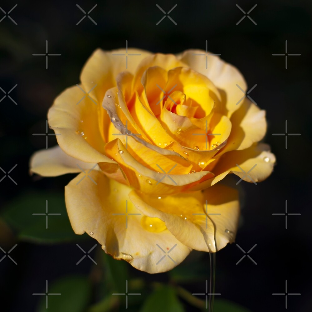 yellow rose  by tcbclothing