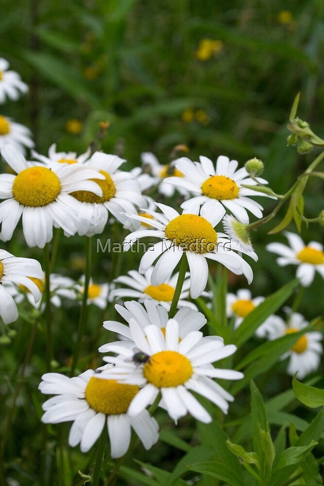 Daisy Field by Martha Medford