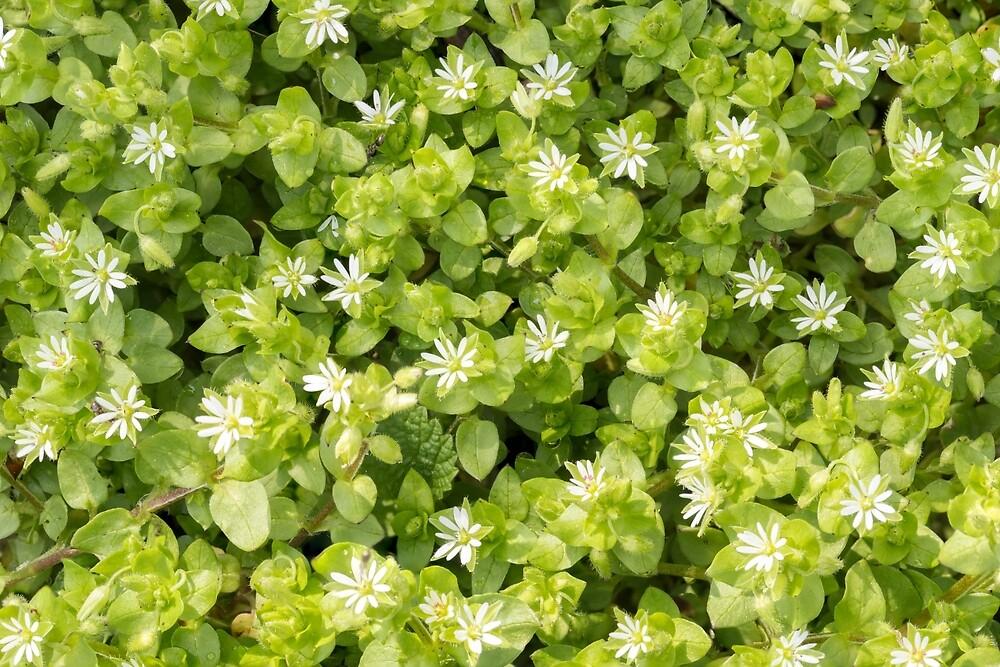 White Stellaria Media Flowers by MaxalTamor
