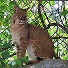 Bobcat by virginian