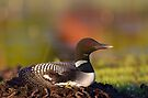 Common loon on nest by Jim Cumming
