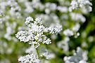Marsh Bedstraw by Kathleen Daley