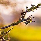 Woolly branch by Kol Tregaskes