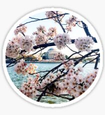 Cherry Blossoms Jefferson Memorial  Sticker