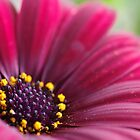 Red Daisy 5/5 by rom01
