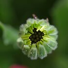 Centre of a Daisy Bud 1/5 by rom01
