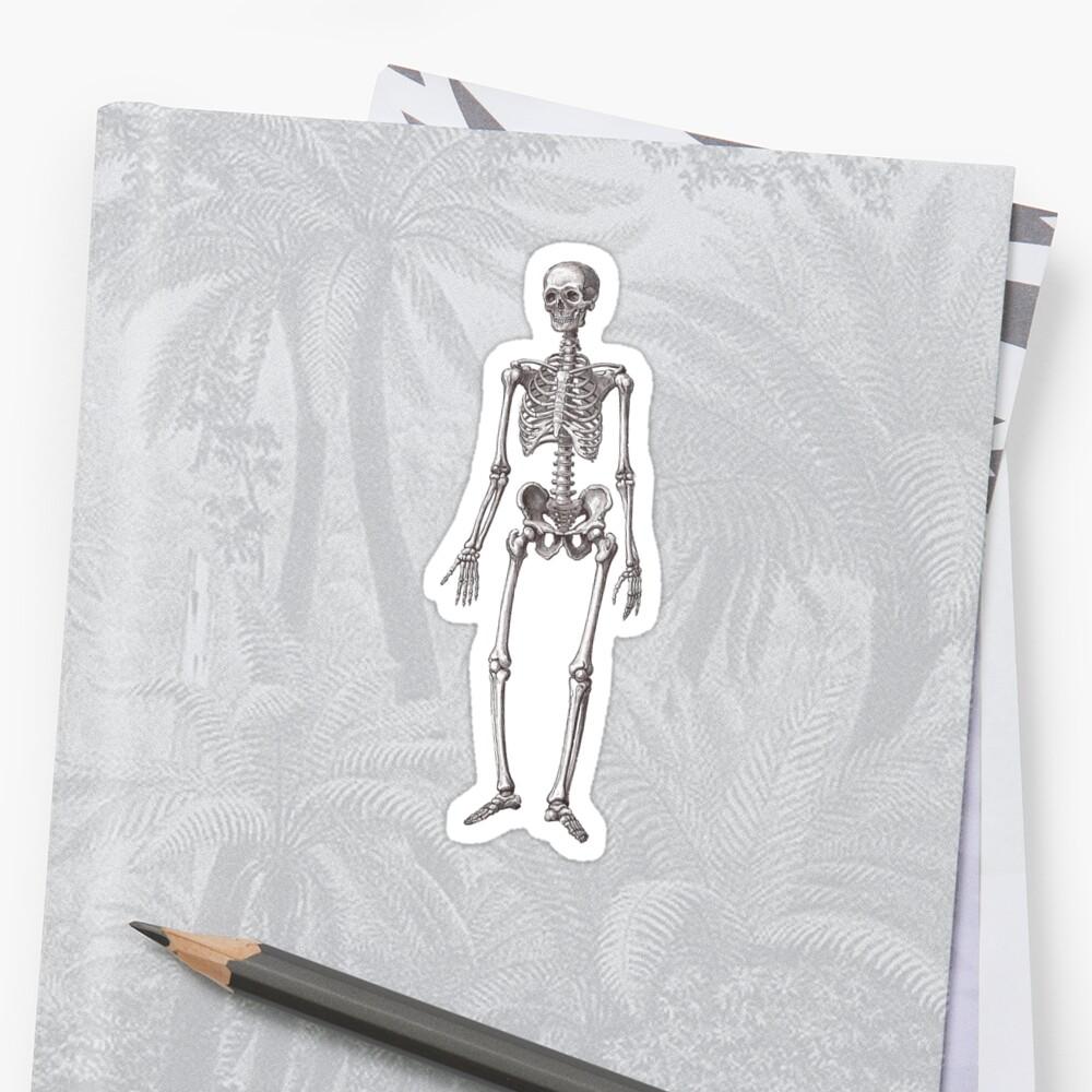 Antique Engraving of Human Skeleton Sticker
