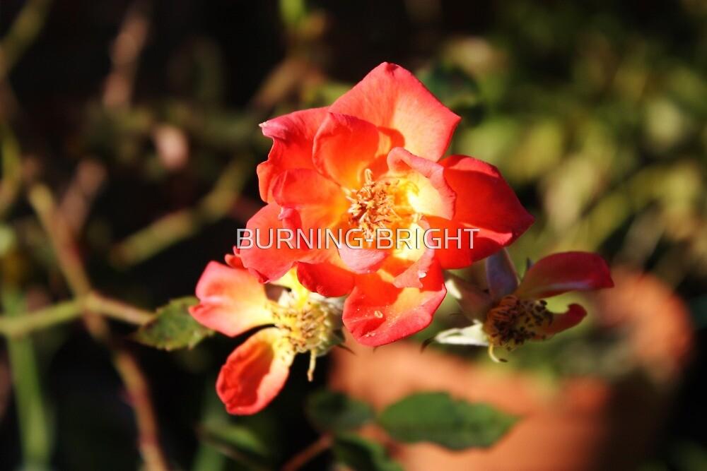 Summer Rose by BURNING-BRIGHT