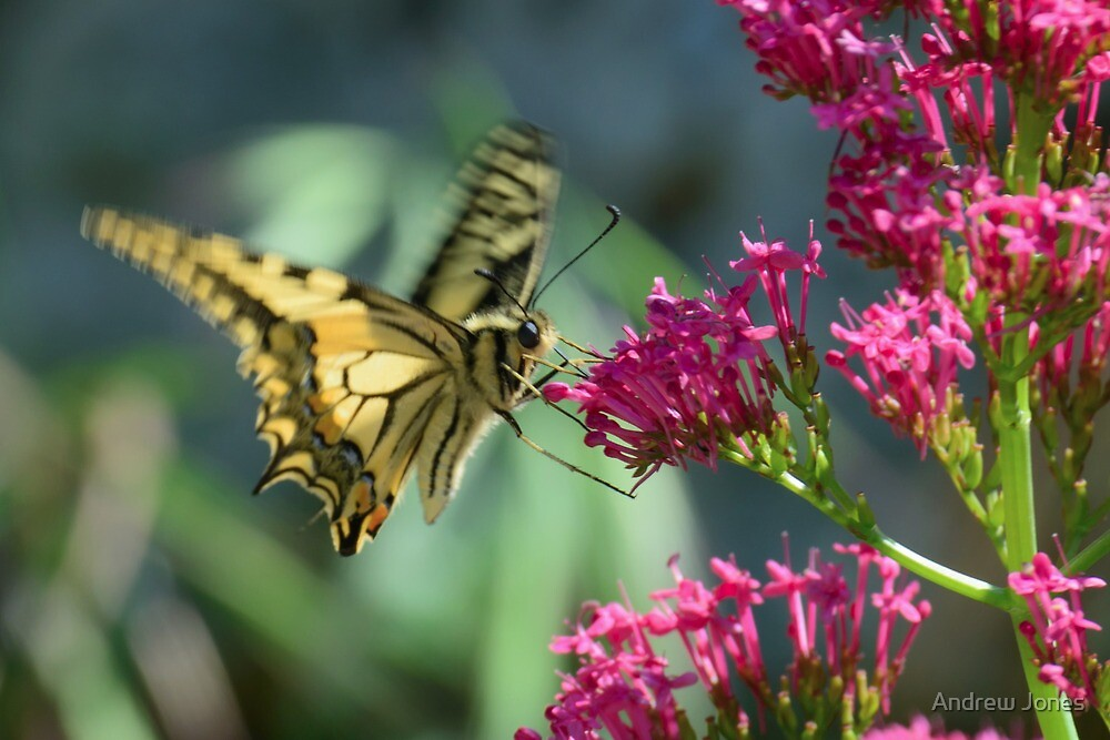 A Swallowtail butterfly hovers, Castiglioncello del Trinoro, Tuscany, Italy by Andrew Jones
