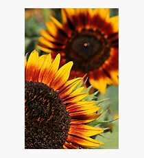 Velvet Queen Sunflowers Photographic Print