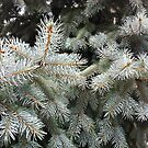 Silver Fir from A Gardener's Notebook by Douglas E.  Welch