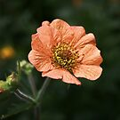 Geum 'Prinses Juliana' by Helmar Designs