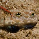 Signal Goby, Papua New Guinea by Erik Schlogl