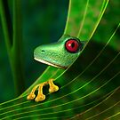 Endangered Rainforest Tree Frog by Paul Fleet