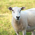 Summer Ewe Sheep  by RedSteve