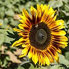 Sunflower  by Suzi Harbison