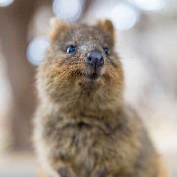 Quokka smiling by cannboys