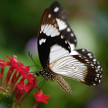 Mocker Swallowtail by declancarr