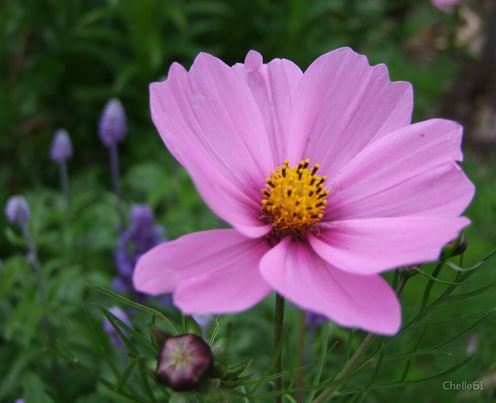 Cosmos by Roachelle Playle