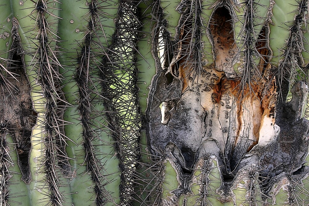 Saguaro Cactus  by CarolM