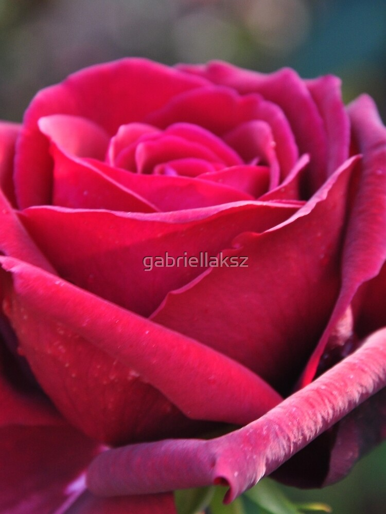 Red rose by gabriellaksz