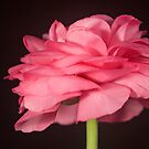 Lone Pink Ranunculus by Anna Ridley