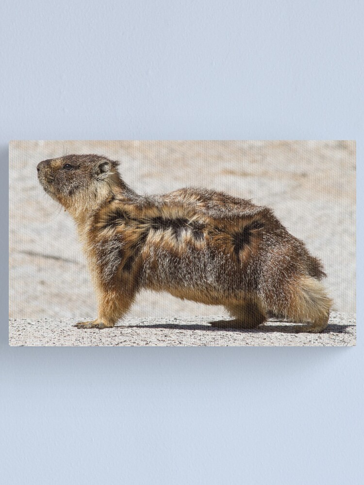 Alternate view of The marmot who poses in the wind Canvas Print