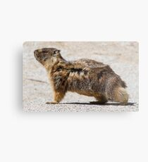 The marmot who poses in the wind Metal Print