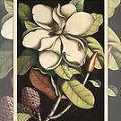 Magnolia by Zehda