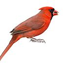 Northern Cardinal Isolated on White by Bonnie T.  Barry