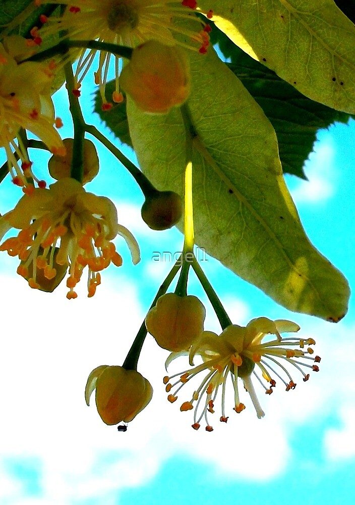 Linden Blossoms by ©The Creative  Minds