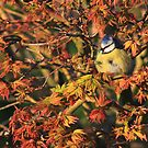 Young blue tit on acer palmatum  by turniptowers