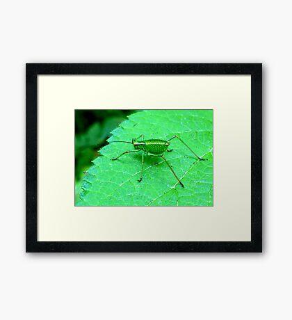 Green Bush Cricket Framed Print