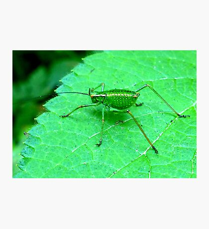 Green Bush Cricket Photographic Print