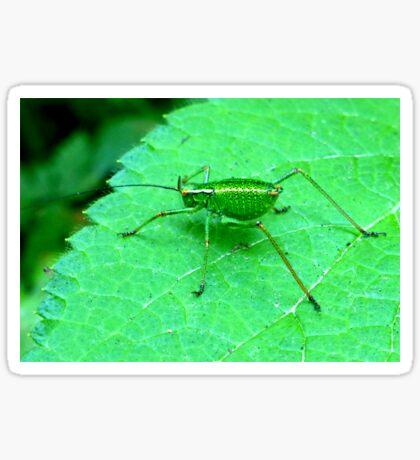 Green Bush Cricket Sticker